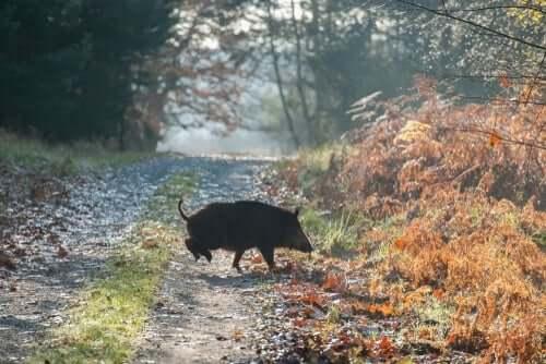 Mythos von Atlante - Wildschwein