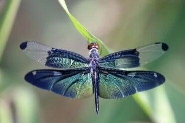 Die Metapher der Libelle und die Lebenszyklen