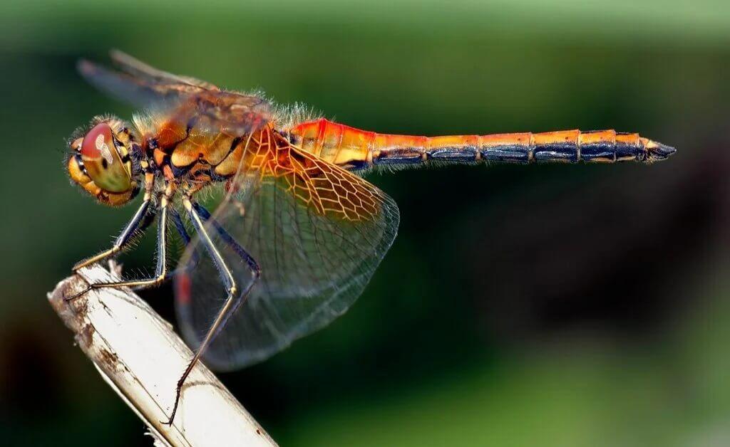 Eine Libelle sitzt auf einem Schilfrohr.