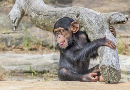Washoe-Projekt - kleiner Schimpanse