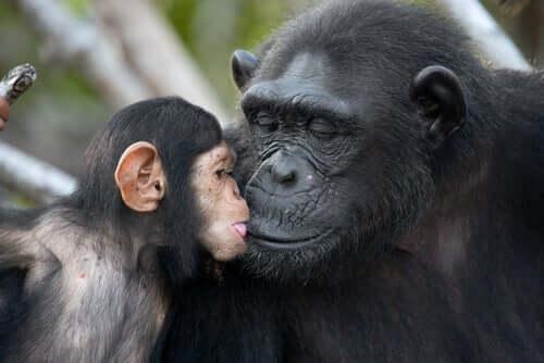Jane Goodall - Schimpanse mit Baby