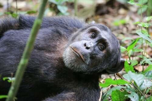 Washoe-Projekt - liegender Schimpanse