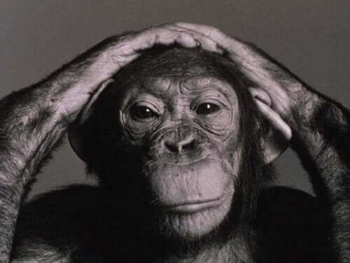 Das Gehirn - Schimpanse