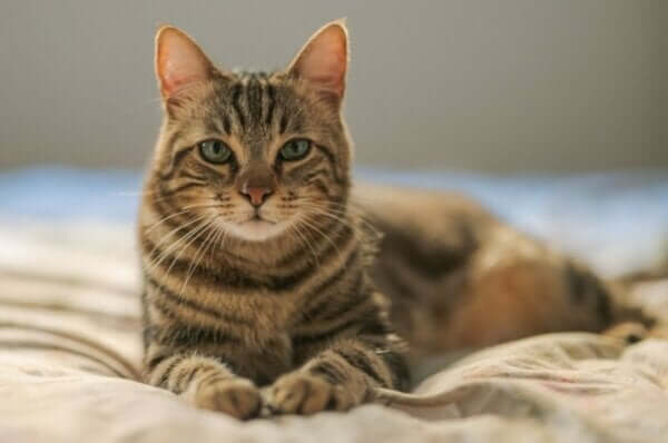 Ailurophobie - Katze Frontalaufnahme