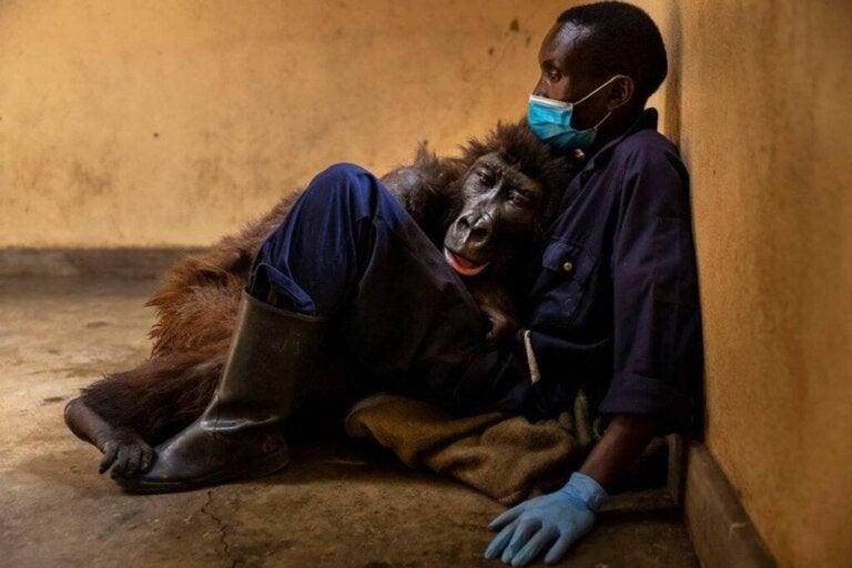 Berggorillaweibchen Ndakasi stirbt in den Armen seines Pflegers